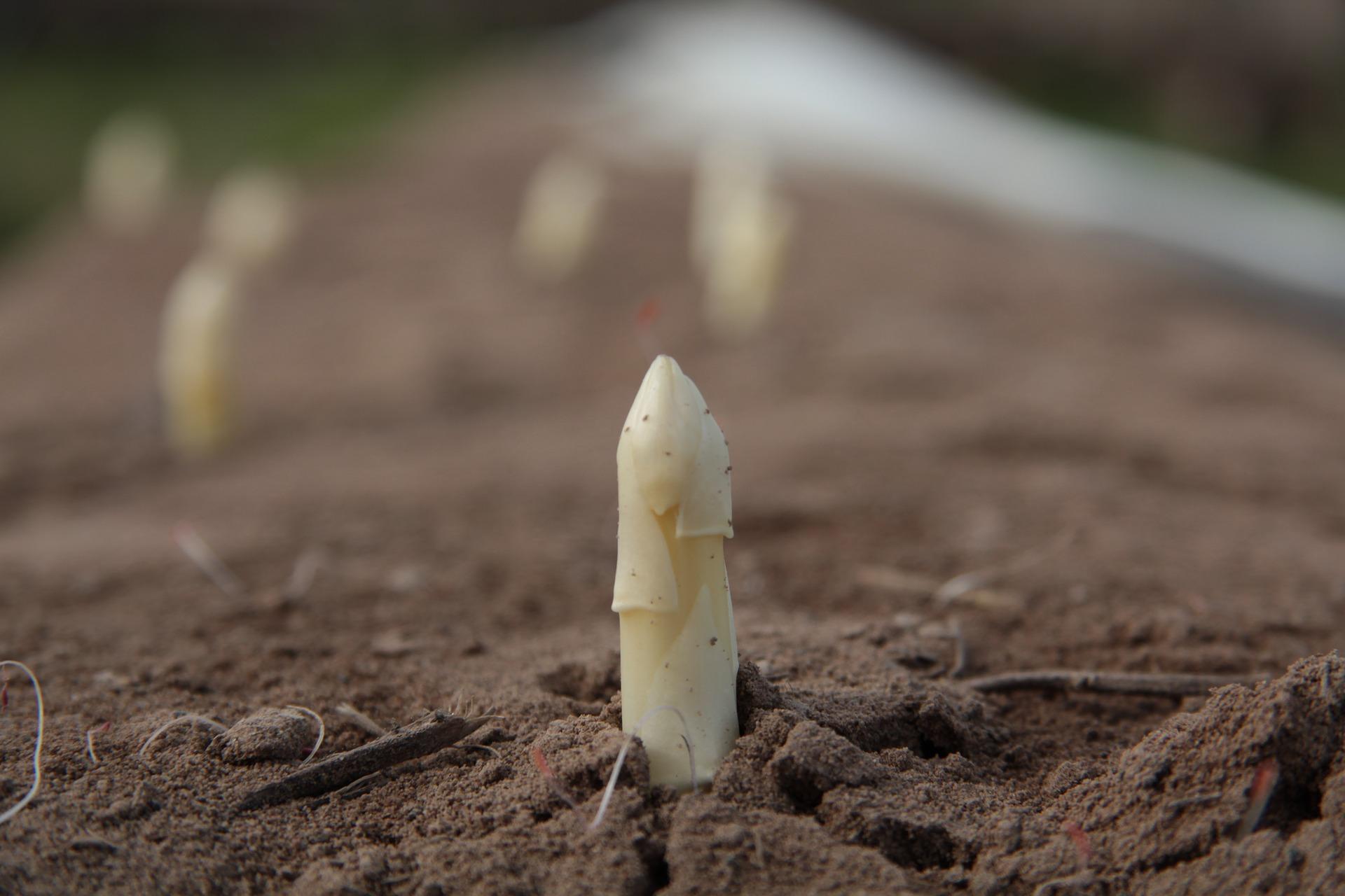 Comment Planter Des Asperges comment cultiver des asperges ? - une adresse